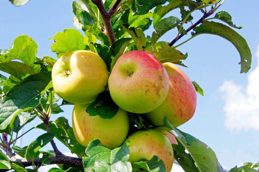 Appels van Vera en Dirk uit de Beemster